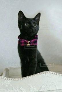 猫,動物,屋内,かわいい,黒,ペット,子猫,座る,見つめる,ネコ,エレガント,おしゃま