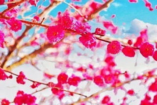 紅梅の写真・画像素材[3016012]
