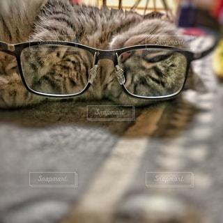 猫,ファッション,アクセサリー,景色,居眠り,眼鏡,グレー,自宅,メガネ,遠近両用