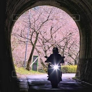 桜,バイク,樹木,トンネル,アーチ,河津桜,草木