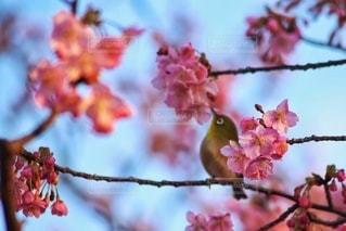 花,春,桜,鳥,鮮やか,メジロ,ブロッサム