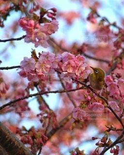 花,桜,鳥,枝,樹木,ブロッサム
