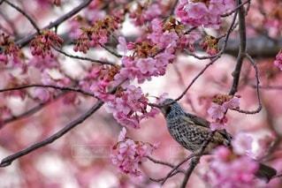 花,桜,鳥,屋外,ピンク,ヒヨドリ