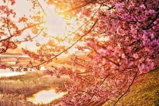 花,春,桜,屋外,川,樹木,朝陽,ブラッサム