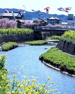花,桜,屋外,川,菜の花,樹木,鯉のぼり