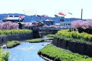 空,花,桜,屋外,川,水面,菜の花,樹木,鯉のぼり
