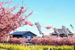 空,花,桜,屋外,菜の花,樹木,鯉のぼり