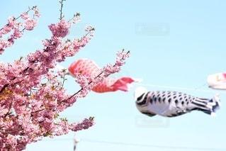 空,花,桜,屋外,ピンク,鯉のぼり