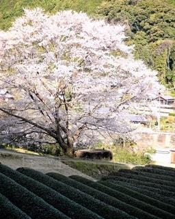 花,桜,樹木,茶畑,淡墨桜
