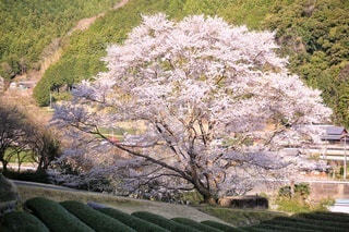 花,桜,山,樹木,茶畑,淡墨桜,さくら,ブロッサム