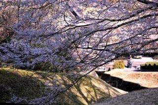 自然,風景,桜,樹木,淡墨桜