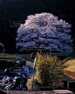 花,桜,バイク,樹木,淡墨桜,山里