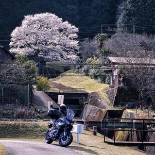花,桜,屋外,バイク,樹木,淡墨桜,オートバイ