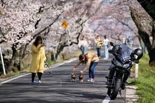 風景,花,桜,屋外,道路,バイク,桜並木,樹木,人,ソメイヨシノ