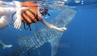 ジンベイザメとシュノーケリングの写真・画像素材[2812163]