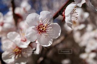 梅の花の写真・画像素材[3020105]