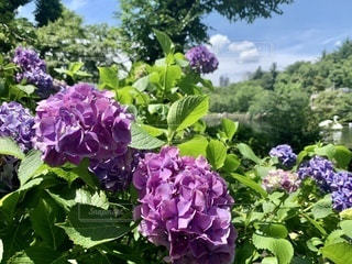 紫陽花日和の写真・画像素材[3396118]
