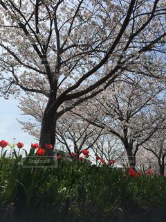 自然,花,春,桜,木,花見,チューリップ,お花見,イベント