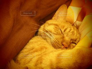 猫,冬,動物,ペット,寝る,人物,夢,こたつ,ネコ,猫の日,ネコ科の動物