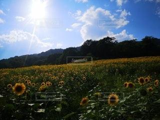 風景,空,花,花畑,屋外,太陽,緑,ひまわり,雲,青空,青,黄色,光,ガーデン