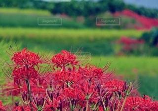 畦道に咲く彼岸花の写真・画像素材[2794739]