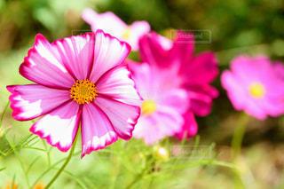ピンクのコスモスの写真・画像素材[2803915]