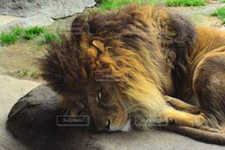 眠るライオン①の写真・画像素材[2813630]