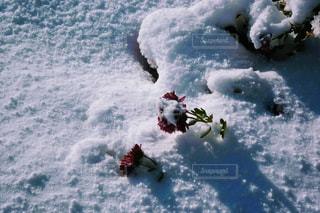 新雪に咲く花①の写真・画像素材[2817948]
