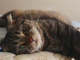 猫,動物,屋内,かわいい,ペット,子猫,人物,布団,哺乳類,スコティッシュ,ネコ,ベッド,ベット