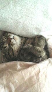 猫,動物,屋内,かわいい,ペット,寝顔,寝る,子猫,人物,布団,毛布,睡眠,眠い,スコティッシュ,ネコ,ベッド,ネコ科の動物