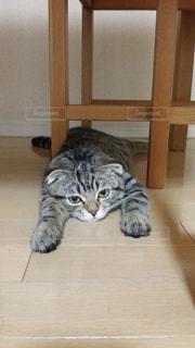 木のテーブルの下に横たわる猫の写真・画像素材[2950128]