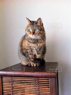 猫,動物,屋内,ペット,人物,木目,ネコ,木製の家具