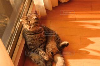 猫,動物,夕焼け,窓,カーテン,夕方,ペット,人物,窓辺,座る,スコティッシュ,ネコ,スコ座り