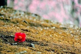 椿と梅の写真・画像素材[4276377]