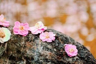 梅の花びらの写真・画像素材[4276382]