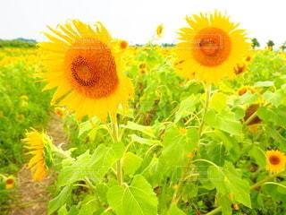 黄色い花のクローズアップの写真・画像素材[3336556]