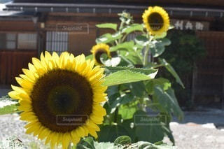 黄色い花の写真・画像素材[3336669]