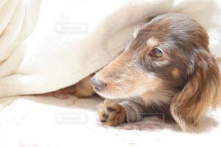 ベッドに横たわる茶色と白の犬の写真・画像素材[3360195]