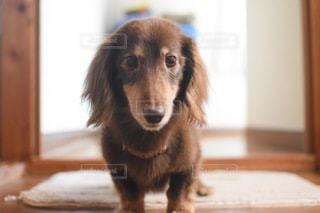 犬のクローズアップの写真・画像素材[3360212]