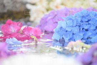 瑞々しい紫陽花の写真・画像素材[3375255]