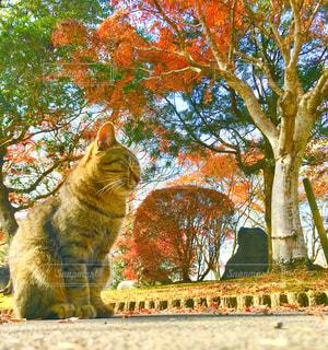 猫,秋,動物,紅葉,屋外,もみじ,オレンジ,樹木,ペット,人物,ネコ