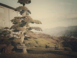 庭の松の写真・画像素材[2920914]