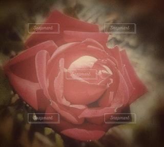 ピンクの花のクローズアップの写真・画像素材[2927886]