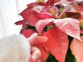 白いセーターと赤いポインセチアの写真・画像素材[2930518]