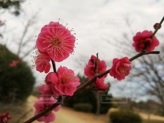 公園の梅の写真・画像素材[3021915]