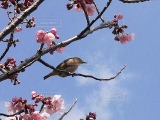 自然,風景,空,花,春,桜,動物,鳥,屋外,青空,花見,景色,サクラ,樹木,ホトトギス,ブロッサム