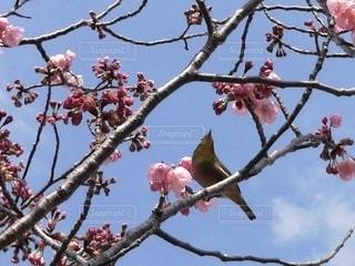 自然,風景,空,花,春,桜,動物,鳥,屋外,ピンク,青空,花見,サクラ,樹木,お花見,ホトトギス,ブロッサム,タイヨウチョウ