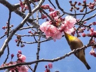 自然,空,花,春,桜,鳥,屋外,ピンク,青空,枝,花見,鮮やか,樹木,草木,ウグイス,ブロッサム