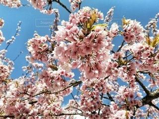 花,春,屋外,ピンク,青,花見,鮮やか,樹木,草木,桜の花,さくら,ブルーム,ブロッサム,インスタ映え,ホトジェニック