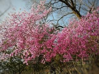 自然,風景,花,春,屋外,ピンク,景色,鮮やか,樹木,草木,桜の花,ブルーム,ブロッサム,かなり
